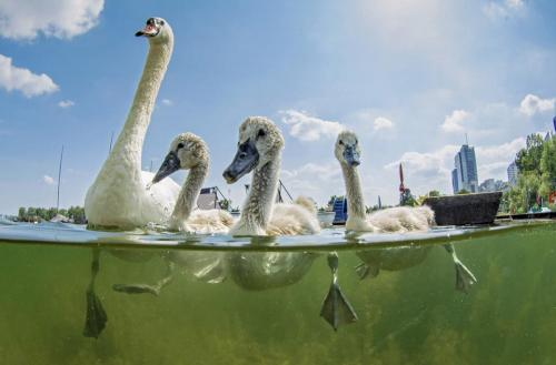 Mute swan family swimming in the Old Danube